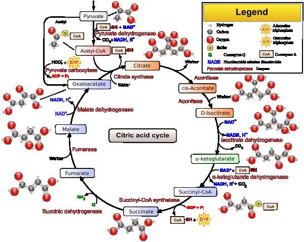 krebs cycle memory boost realtor